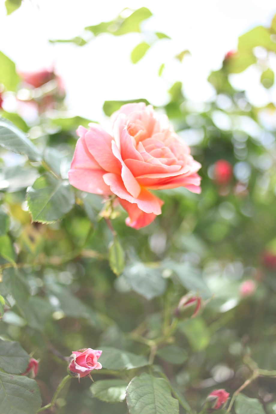 pink rose gem photo