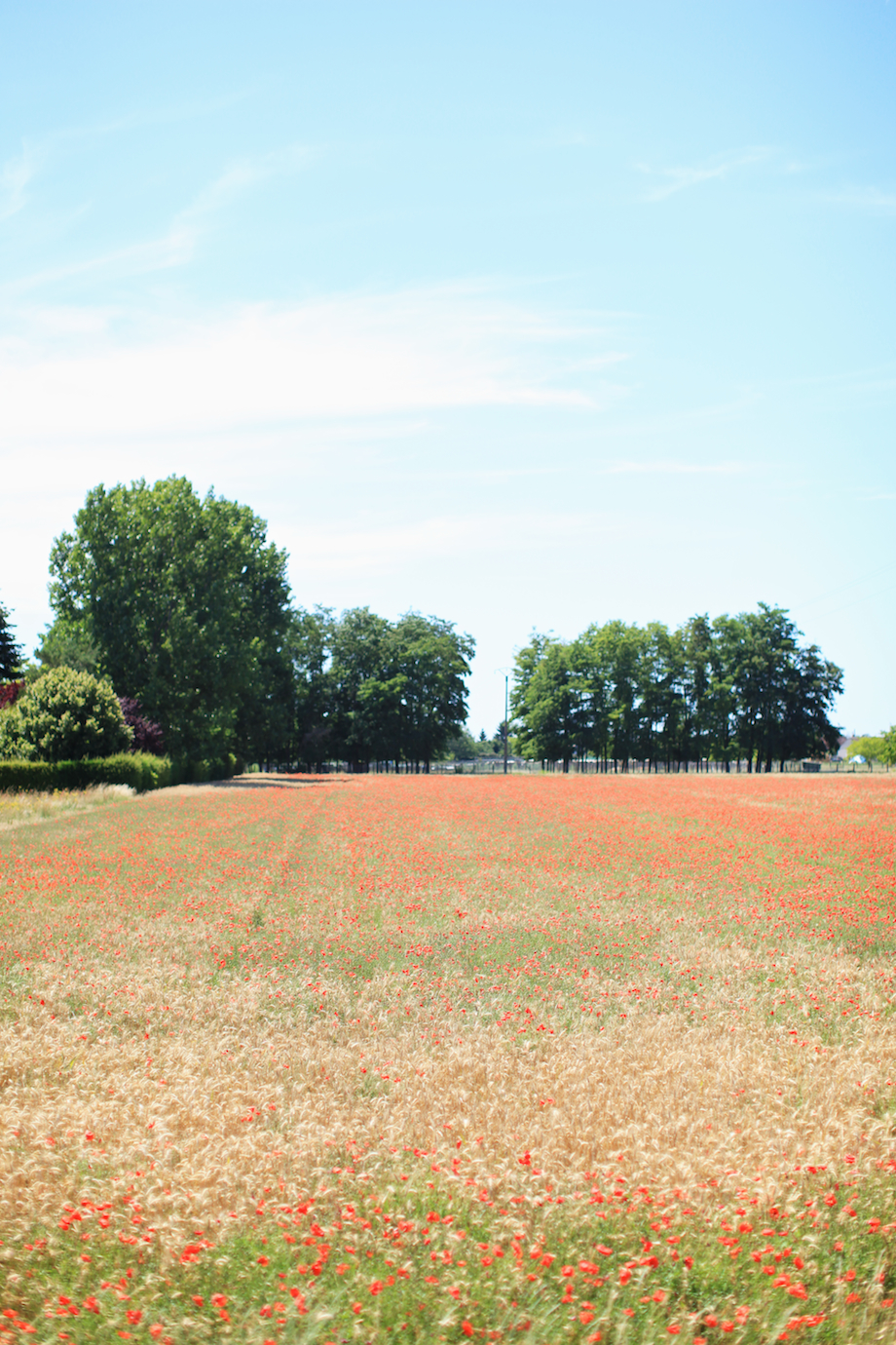 field of poppies gem photo