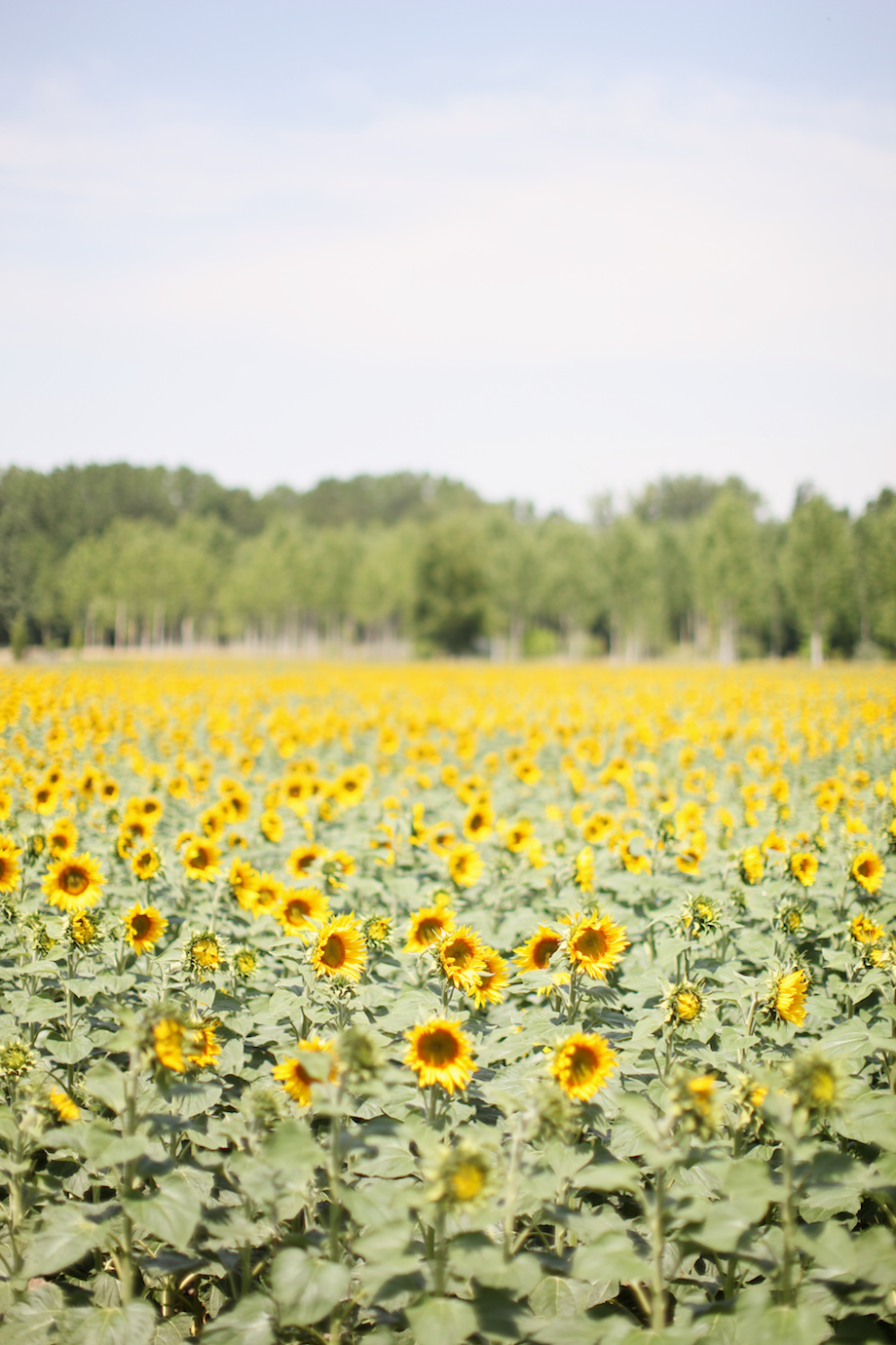 field of sunflowers france by gem photo