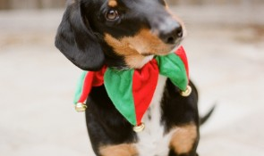 cute holiday dachshund mix